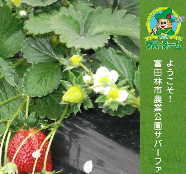 いちご狩りスポット 富田林市農業公園サバ―ファーム