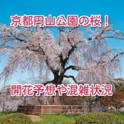 京都円山公園の桜