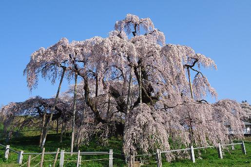 桜 おすすめスポット三春滝桜