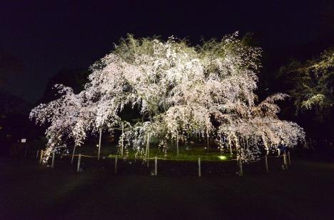桜 おすすめスポット六義園