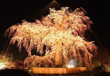 京都円山公園の桜 ライトアップ