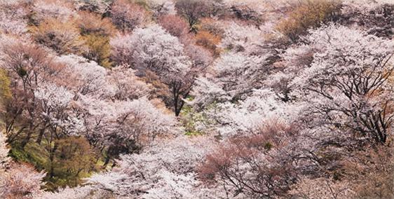 桜 おすすめスポット吉野山