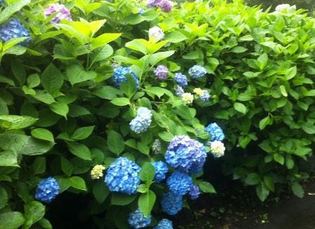 紫陽花スポット ぬかた園地