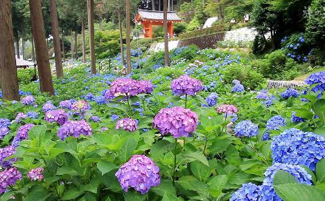 紫陽花スポット 三室戸寺