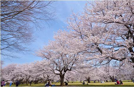 花見2019関東の穴場や人気スポット12