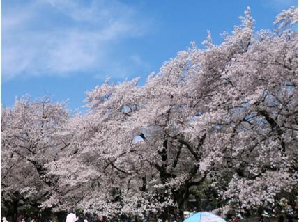花見2019関東の穴場や人気スポット13
