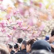 花見2019関東の穴場や人気スポット