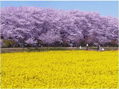 花見2019関東の穴場や人気スポット7